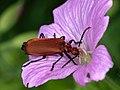 Pyrochroa serraticornis 134459750.jpg