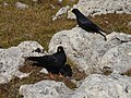 Pyrrhocorax graculus couple Roda di Vael.jpg