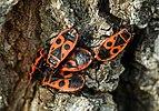 Pyrrhocoris apterus LC0130.jpg