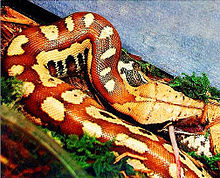 Python curtus (2).jpg