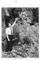 Queensland State Archives 4283 Hemlock plant Gatton 1950.png