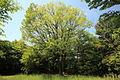Quercus Serrata (Konara) Futamurayama, Toyoake 2012.JPG