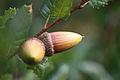 Quercus agrifolia acorns Mount Diablo.jpg