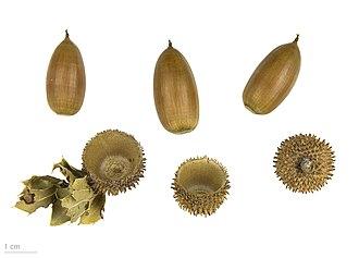 Quercus coccifera - Quercus coccifera - MHNT