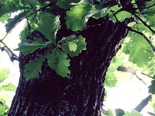 <i>Quercus dentata</i> species of plant