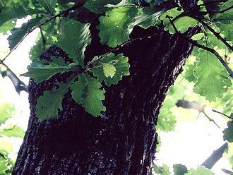Quercus dentata - Image: Quercus dentata
