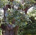 Quercus garryana.jpg