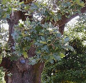 Quercus garryana - Garry oak leaves