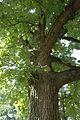 Quercus macrocarpa (23518502753).jpg