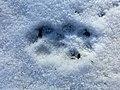 Rävspår i snö i Väsmestorp, Sörby sn 9920.jpg