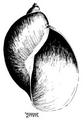 Radix natalensis shell 2.png