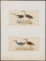 Rallus longirostris - 1700-1880 - Print - Iconographia Zoologica - Special Collections University of Amsterdam - UBA01 IZ17500027.tif