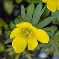 Ranunculus acris DSC 0075 (51073639066).jpg