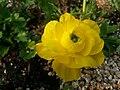 Ranunculus asiaticus5.jpg