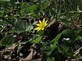 Ranunculus ficaria (8707604518).jpg