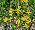 Ranunculus flammula in West Coast Region 04.jpg