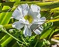 Ranunculus lyallii in Arthur's Pass NP 01.jpg