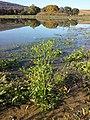 Ranunculus sceleratus sl21.jpg