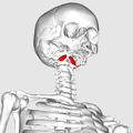 Rectus capitis anterior muscle04.png