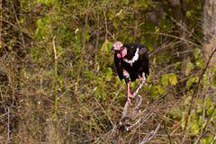 240px red headed vulture sarcogyps calvus