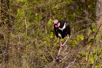 Red-Headed-Vulture-Sarcogyps-calvus.jpg