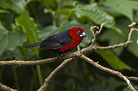 Red-headed Bluebill - Kakamega - Kenya 06 2643 (22568963858).jpg