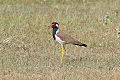 Red-wattled Lapwing (Vanellus indicus) - New Delhi.jpg