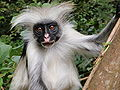 Red Colobus 3.jpg