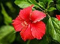 Red Flower Bagh-e-Jinnah Lahore pakistan.jpg