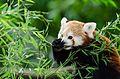 Red Panda (20333713218).jpg