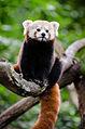 Red Panda (21115714519).jpg
