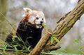 Red Panda (23907180574).jpg
