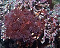 Red algae 2.jpg