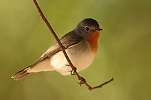 Red brested flycatcher by David Raju (cropped).jpg