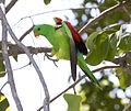 Red shouldered parrot3.jpg