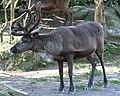 Reindeer (14825232887).jpg
