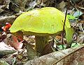 Retiboletus ornatipes 45152.jpg