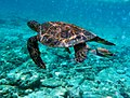 Rhinecanthus aculeatus is attacking Chelonia mydas.jpg
