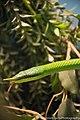 Rhinoceros Snake (25643901618).jpg