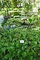 Rhizophora mucronata-Jardin botanique Meise (1).jpg