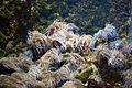 Rhodes Aquarium - Anemonia viridis.jpg