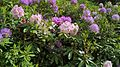 Rhododendron-Keukenhof.jpg