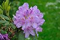 Rhododendron (4703554301).jpg