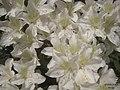 Rhododendron (5680294518).jpg