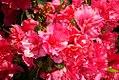 Rhododendron Carol Kitchen 0zz.jpg
