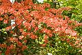 Rhododendron Kaempferi 04.jpg