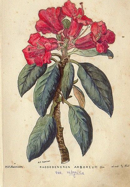 File:Rhododendron arboreum.jpg
