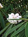 Rhododendron calophytum (16800258617).jpg