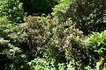 Rhododendron degronianum subsp. yakushimanum 'Angel' - UBC Botanical Garden - Vancouver, Canada - DSC07862.jpg
