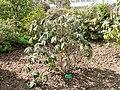 Rhododendron niveum - University of Copenhagen Botanical Garden - DSC07606.JPG